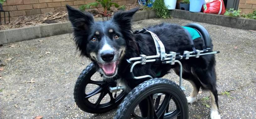 Un cachorro de tres patas puede volver a caminar gracias a la impresión 3D